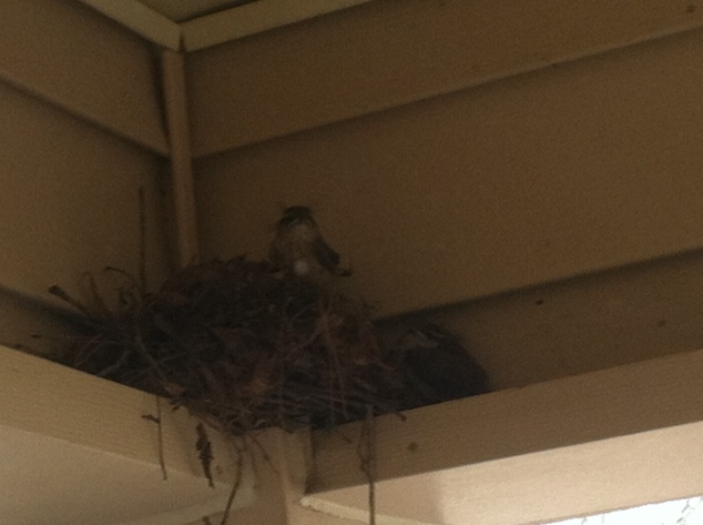 The Carolina wrens on our porch hatched and fledged, looking for a brief time like tiny grumpy things.